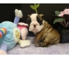 English Bulldog Pups,