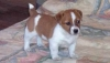 Cute jack Russell Puppies male and female for Adoption