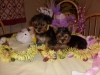 Magnificent Yorkie puppies available now