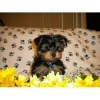 Adorable lovely male and female yorkie puppies for adoption