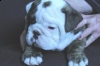 beautifullenglish bull dog for sale