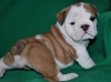 Adorable English Bulldog puppies Available