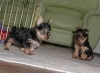 Nice and Outstanding teacup Yorkshire Terrier puppies available for good home