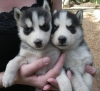 Healthy Babies Siberian Husky Puppies For Any loving Home ?