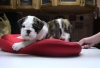 Dearest and best  English bulldog puppies