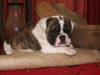 Champion Bloodline English Bulldog puppies now available.