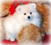White Pomeranians for  sale