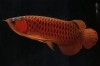 Fresh Water Aquariums: Arowana Fish