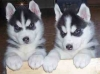 Charming Siberian Husky Puppies For Adoption