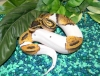 well tamed piebald  ball pythons for sale