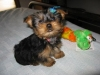 Two gorgeous Yorkie puppies remaining for adoption, Male and Female.